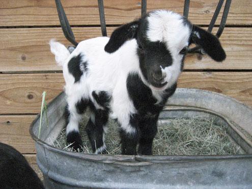 Facts About Fainting Goats Mostinterestingfactsa